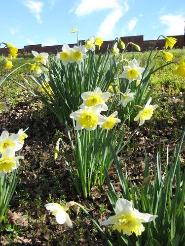 PV Daffodils 019
