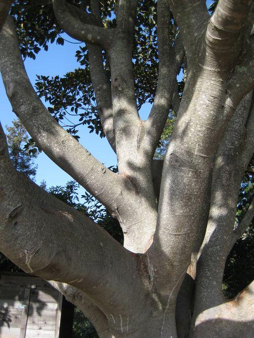 Big Sur Ventana Tree