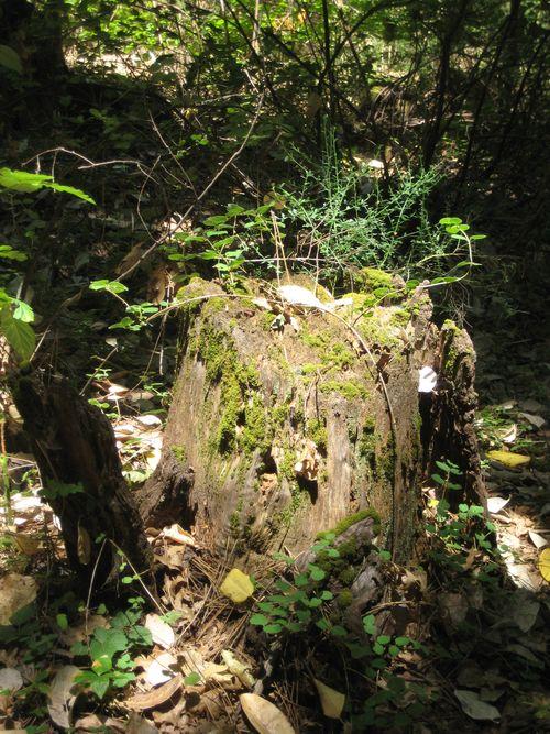 Forest Walk Stump #2