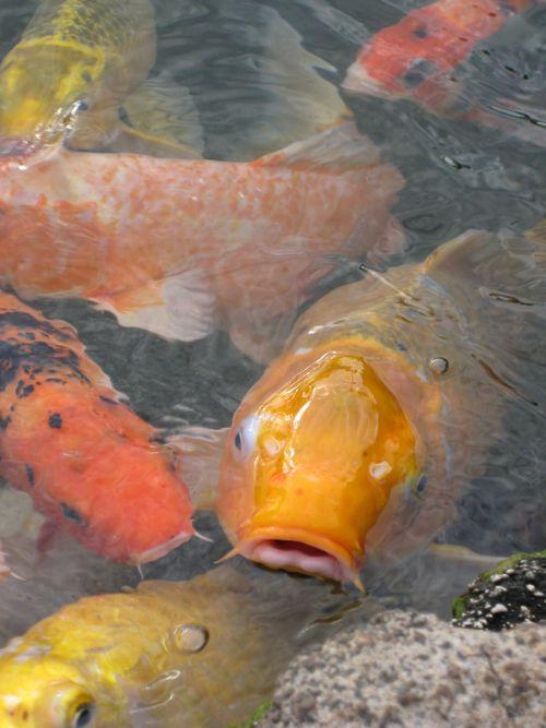 Koi Pond-Lihue